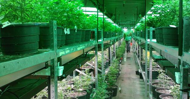 El plan de Podemos y la marihuana: hasta 20 plantas por persona