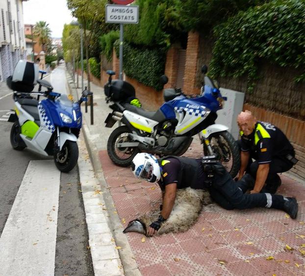 Un emú se pasa horas corriendo por las calles de San Cugat y muere tras una persecución policial