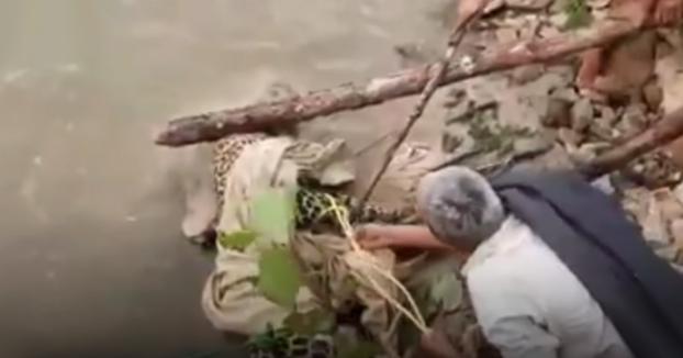 Trata de salvar a un leopardo herido y el animal le ataca mordiéndole en brazos y piernas