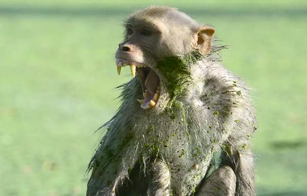 Un grupo de monos mata a ladrillazos a un hombre en la India
