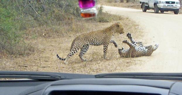 Una familia graba una pelea de dos leopardos en plena carretera que acaba con uno de los dos muertos