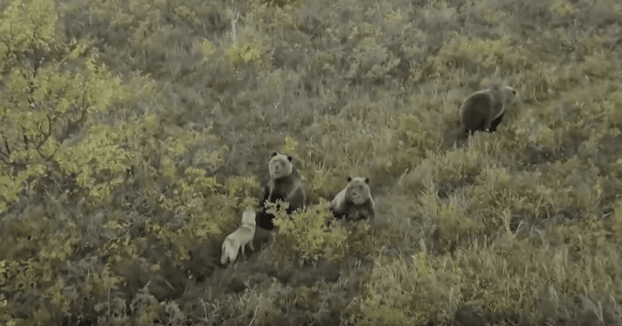 Un perro juega con una familia de osos en Rusia