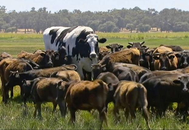 Knickers, el buey más grande del mundo que mide casi como Michael Jordan
