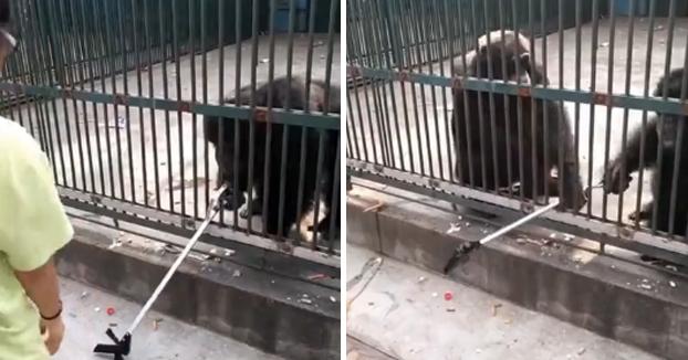 Un chimpancé le roba el palo selfie a una niña y rápidamente otro chimpancé se acerca, se lo quita de las manos y se lo devuelve