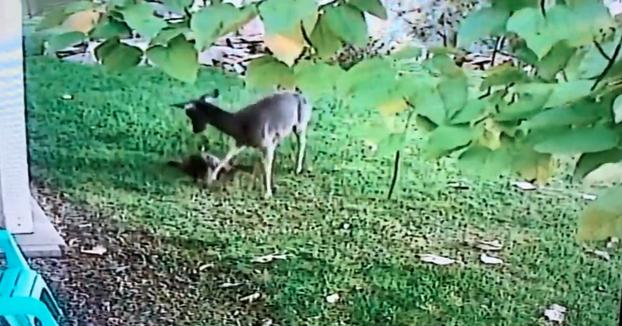 La cámara de seguridad de una vivienda graba como un ciervo acaba con la vida de un gato