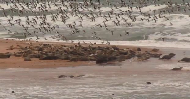 Cientos de focas huyen por la presencia de humanos que estaban sacándoles fotos en la Reserva Natural de Forvie