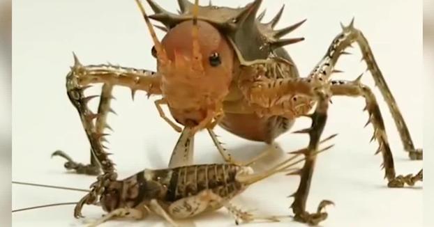 Un grillo erizo gigante devorando a otro grillo más pequeño