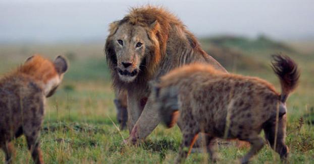 Un león sobrevive al ataque de una manada de 20 hienas