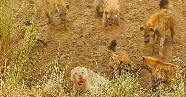 Unas leonas salvan a un león que estaba acorralado por 12 hienas