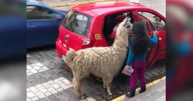 Mientras tanto, en Perú: Una llama toma un taxi en Cuzco