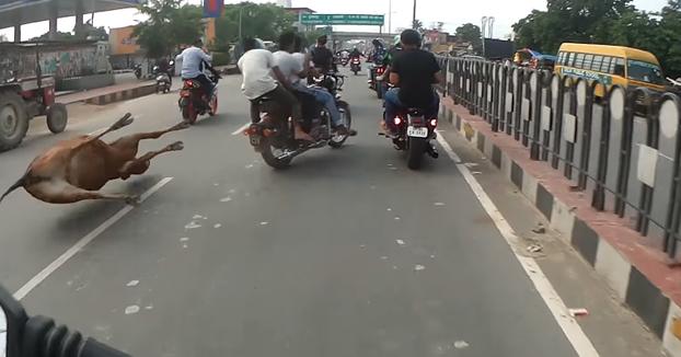 Si viajas por India en moto, ten cuidado con las vacas