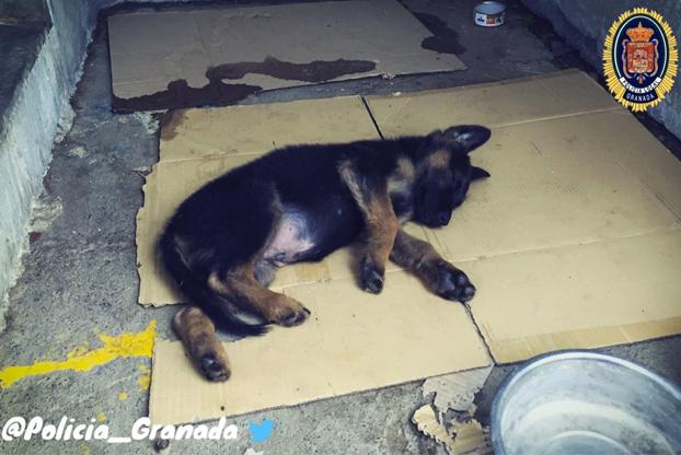 La policía de Granada rescata a un perro maltratado por su dueño y lo adoptan. Tras una votación en Twitter lo han llamado Stan Lee