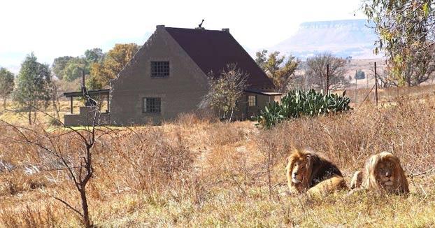 Lion House: Una casa en alquiler donde los visitantes viven rodeados por más de 70 leones