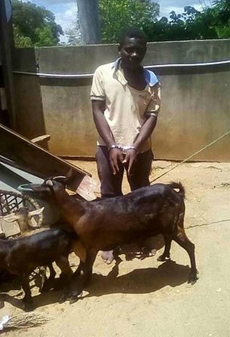 Un hombre acusado de violar a una cabra dice que le pidió permiso primero