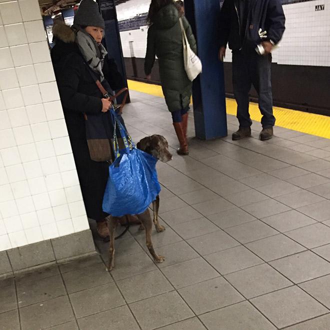 El metro de Nueva York prohíbe la entrada a los perros a no ser que vayan en una bolsa y esto es lo que hacen los dueños... - miBrujula.com