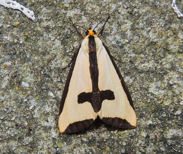 Haploa Clymene Moth, alias la polilla gótica