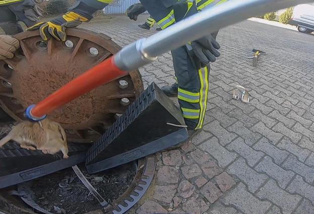 Los bomberos rescatan a una rata con sobrepeso atrapada en una alcantarilla