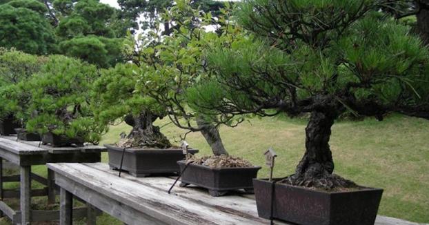 Roban siete bonsáis de 400 años y el dueño explica a los ladrones cómo cuidarlos