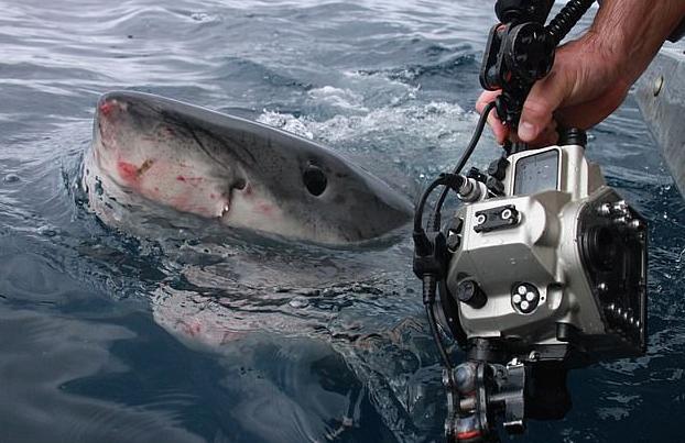 Fotografía a pocos centímetros a un enorme tiburón blanco de 1.300 kilos y sale ileso