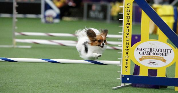 La carrera de Gabby, un perro de raza Papillón, está dando la vuelta al mundo por su rapidez haciendo el circuito
