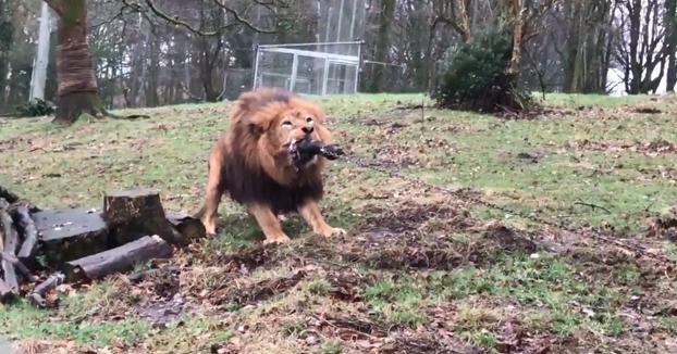 Humano contra bestia: Un zoo permite a los niños jugar al tira y afloja con un tigre y un león