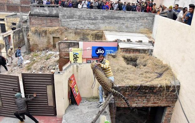 Pánico en una ciudad de India por un leopardo que atacó a varias personas