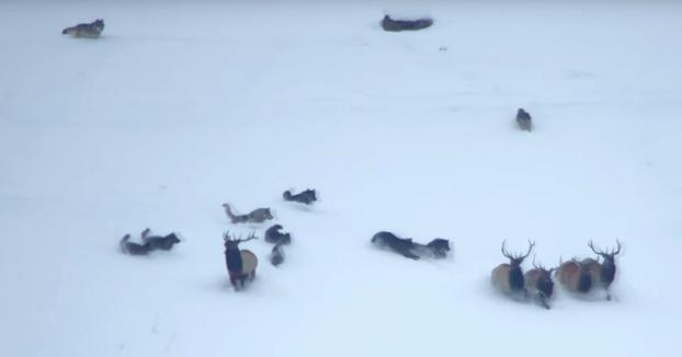 Un turista graba cómo una manada de 11 lobos intenta cazar a un grupo de ciervos