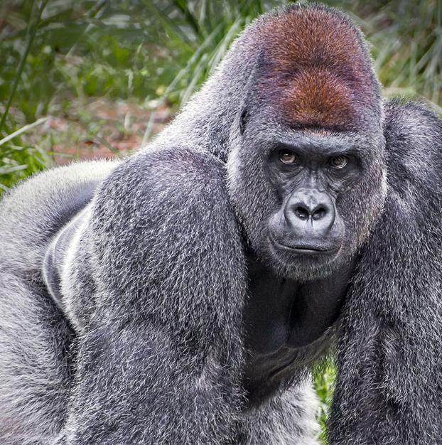 Mike Tyson ofreció a un trabajador de un zoo 10.000 dólares para pelearse con un gorila de espalda plateada