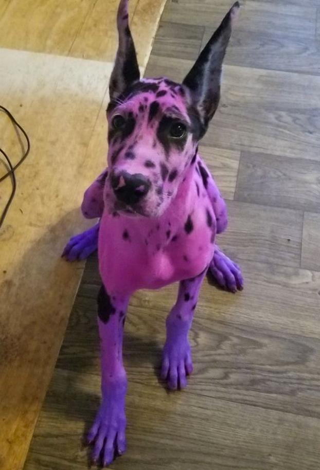 Una mujer tiñe de rosa y púrpura a su gran danés para que no intimide tanto
