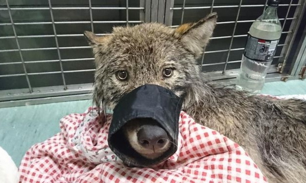 Rescatan a un perro de un río helado y en el veterinario descubren que es un lobo