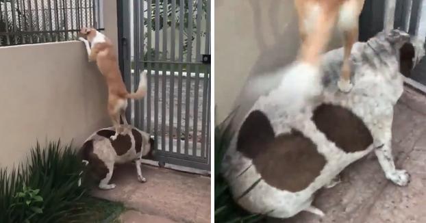 Un perro con sobrepeso hace de banco para que su amigo pueda ver a su novia