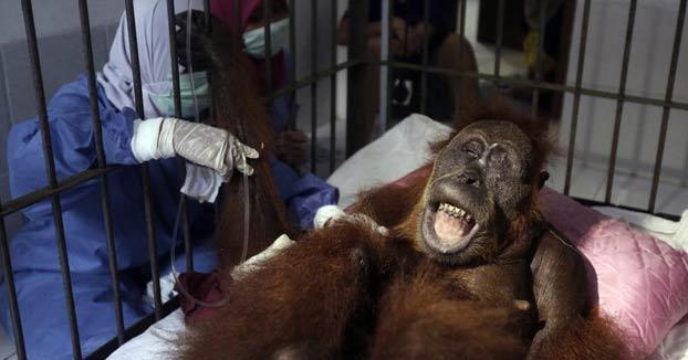 La historia de Hope, la orangutana que ha sobrevivido a 74 disparos de perdigón de unos cazadores