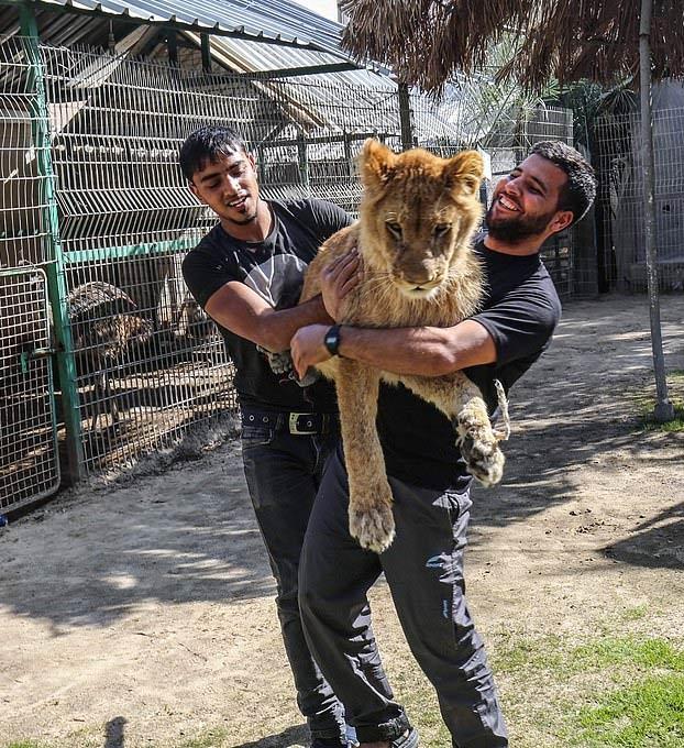 Mutilan a una leona para que ''juegue'' con los visitantes del zoo