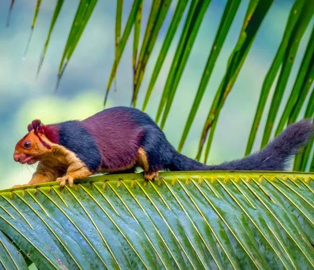 Shekru, una ardilla gigante con pelaje multicolor de la selva de Malabar