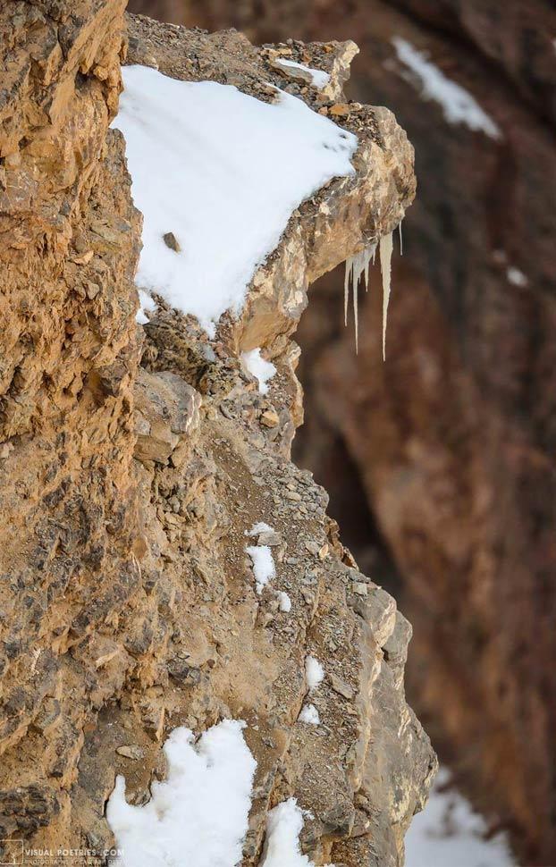 Cuando lo veas ya te habrá atacado: Foto de un leopardo de las nieves tomada por el fotógrafo Saurabh Desai