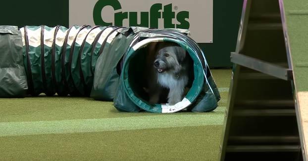 La 'desastrosa' carrera de Kratu, un perro rescatado de la calle: Se detuvo a jugar en todas las pruebas