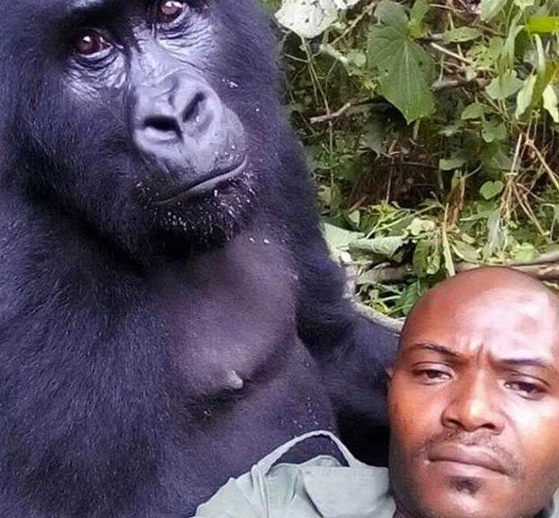 Unos gorilas posan para un selfie con unos guardas forestales en el Congo que los protegen de los furtivos