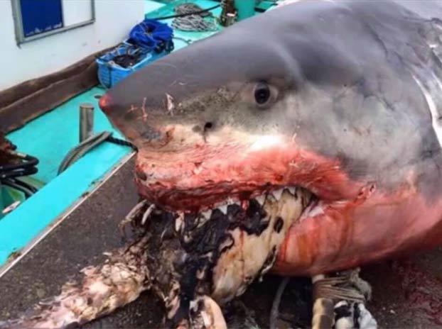 Un tiburón blanco de 2.000 kg muere asfixiado intentando devorar una tortuga