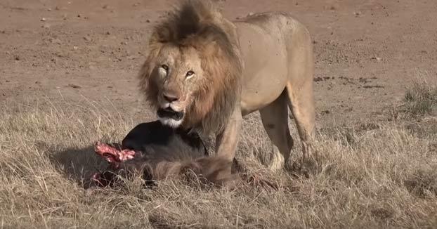 Un león alfa ataca a otro más joven al acercarse cuando estaba comiendo y lo deja con la columna vertebral rota