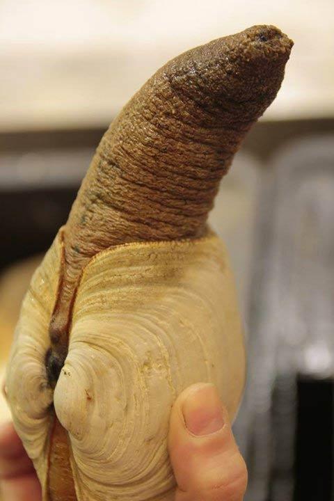 Cómo comer una almeja pene gigante