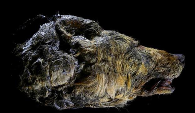 Encuentran la cabeza de un lobo gigante que vivió hace 40.000 años en Yakutia