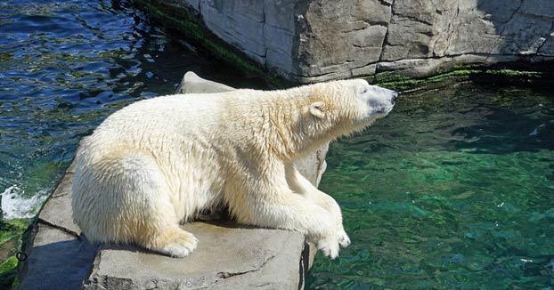 Momento en el que un oso polar se come a un pato en el zoo de San Diego ante la mirada de los visitantes