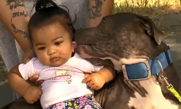 Una pitbull agarra y arrastra a una bebé del pañal para ponerla a salvo del incendio en la casa