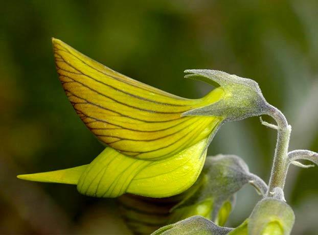 Crotalaria cunninghamii, la planta con flores que parecen colibríes verdes