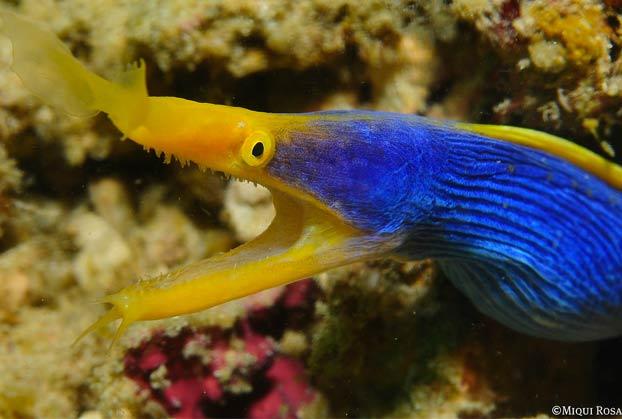 La preciosa anguila de listón azul que puede alcanzar 1,30 metros de largo