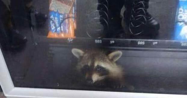 Una mapache queda atrapado en una máquina expendedora al intentar robar algunos snacks