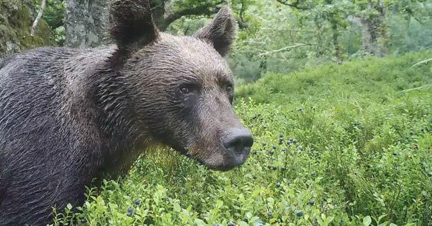 Un oso dándose un festín de arándanos en Asturias