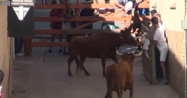 Se deja los testículos enganchados en la madera del burladero tras ser corneado por una vaca en Falces