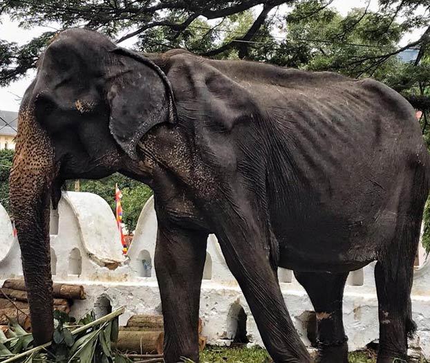 Las impactantes imágenes de Tikiri: la elefanta de 70 años enferma obligada a trabajar en un festival en Sri Lanka