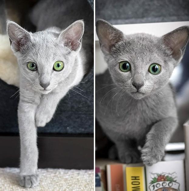 Estos preciosos gatos de la raza azul ruso tienen unos ojos impresionantes